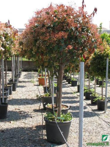 Arbusti ornamentali photinia x fraseri red robin for Arbusti ad alberello