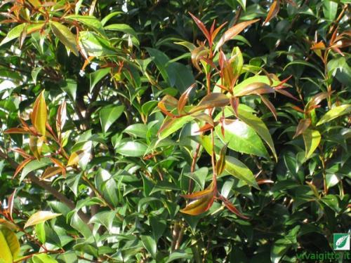 Le nostre piante eugenia myrtifolia for Pianta eugenia