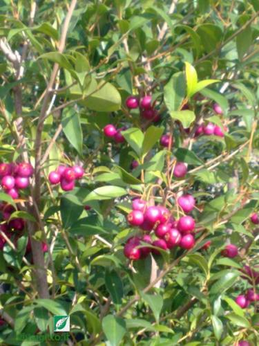 Arbusti ornamentali eugenia myrtifolia for Pianta eugenia