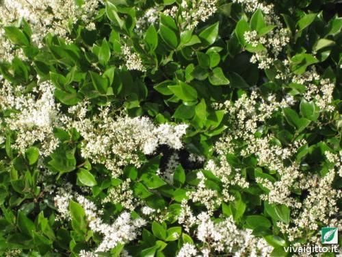 Le nostre piante ligustrum japonicum texanum for Ligustro siepe