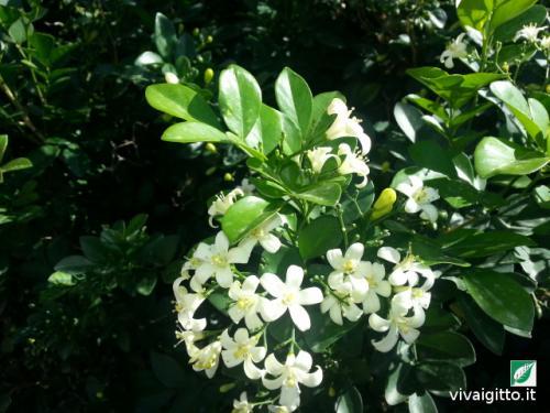 Arbusti ornamentali murraya exotica for Arbusti ornamentali