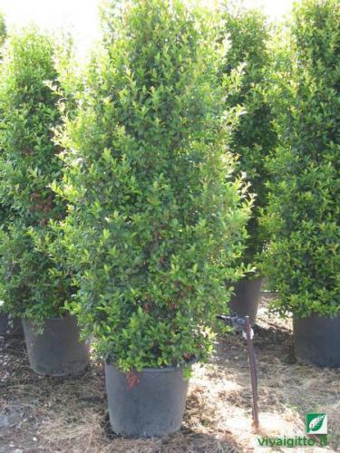 Le nostre piante eugenia myrtifolia newport for Arbusti sempreverdi in vaso