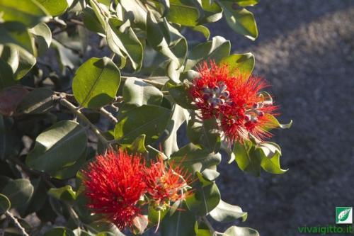 Arbusti ornamentali metrosideros thomasii for Arbusti ornamentali